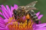 pollen_affiche